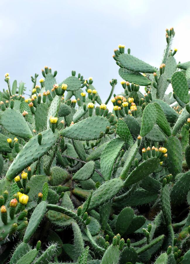 Pere piccante con fiori gialli in primavera immagini stock