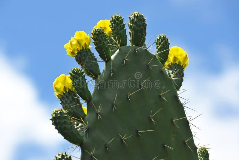 Pere piccante con fiori gialli in primavera immagini stock libere da diritti