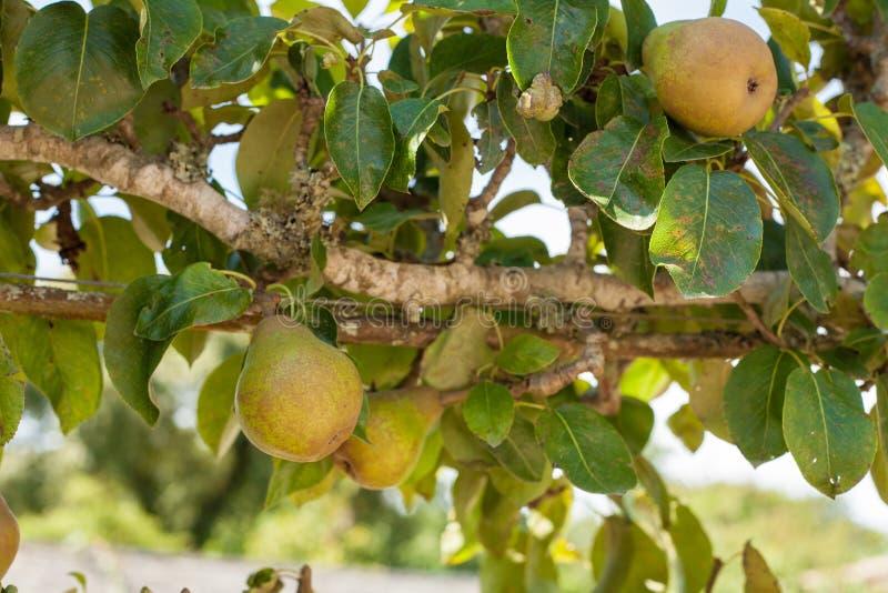 Pere sull'albero immagini stock libere da diritti