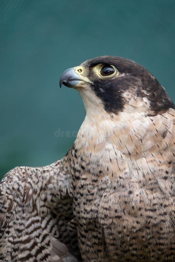 Peregreen falcon, bird of prey, photographed in the Drakensberg mountains near Cathkin Peak, South Africa. Peregreen falcon, bird of prey, photographed in the royalty free stock photos