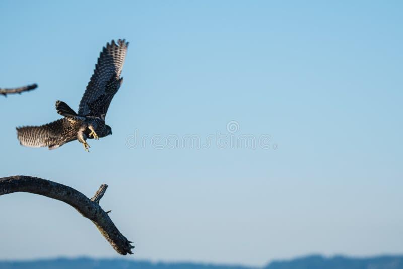 Peregrin Falcon tijdens de vlucht royalty-vrije stock afbeeldingen