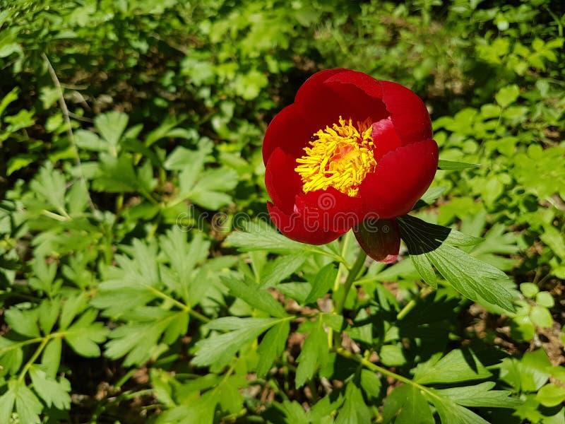 Peregrina del Paeonia - peonía salvaje fotografía de archivo