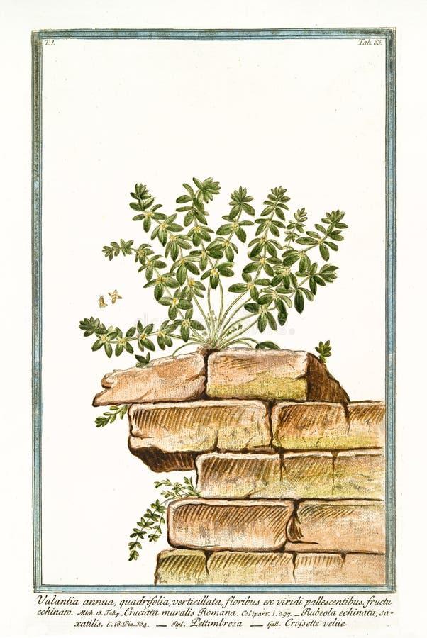 Peregrina del Rubia del quadrifolia del annua de Valentia imagen de archivo libre de regalías