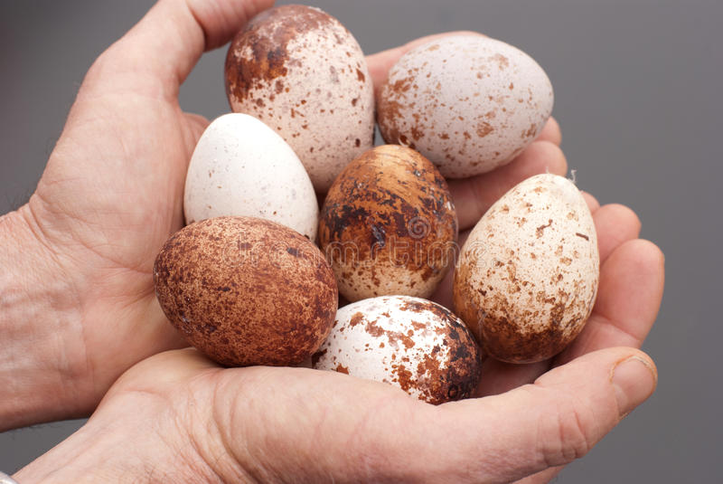 Peregrine Eggs in hands. stock photos