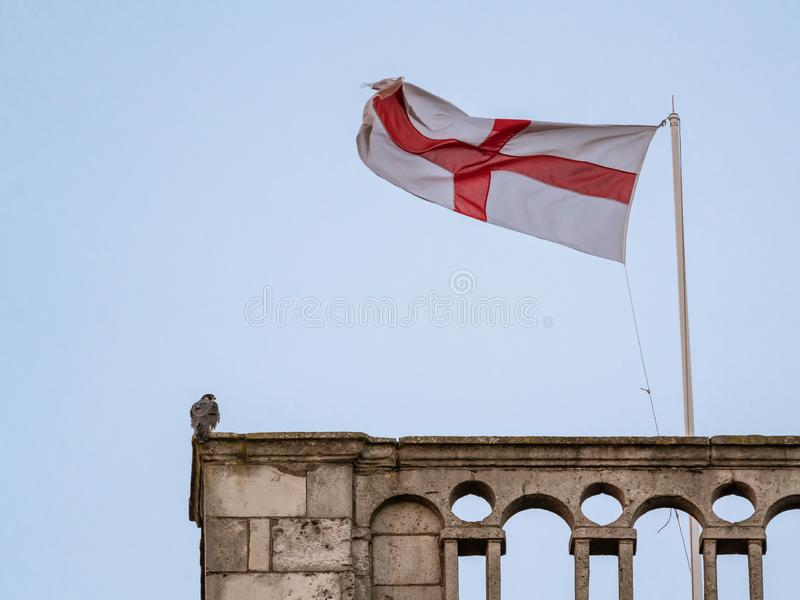 Peregrine & x28;Falco peregrinus& x29; perched on a church tower at dusk next to St Georges Cross flag. In the UK, bird, prey, birds, falcons, caracaras stock image