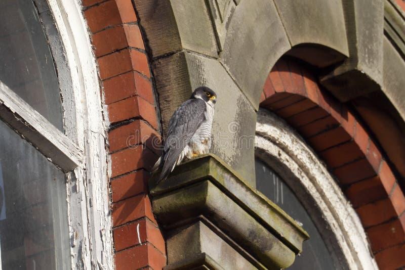 Peregrine, Falco peregrinus. Single bird on building, Derbyshire, June 2014 stock photos