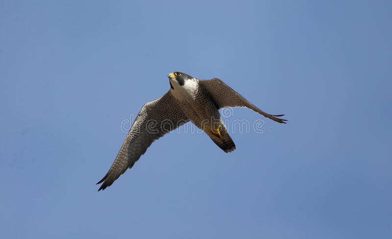 Peregrine, Falco peregrinus. Single bird in flight, Derbyshire, June 2014 stock image