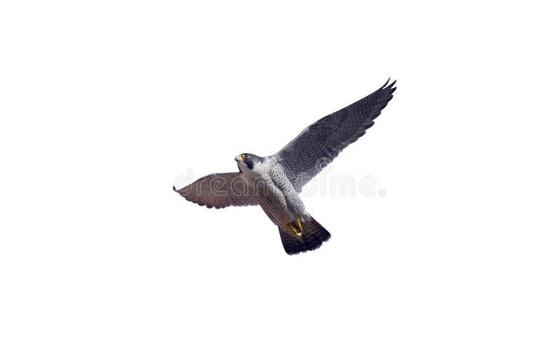 Peregrine, Falco peregrinus. Single bird in flight, Derbyshire, June 2014 royalty free stock image