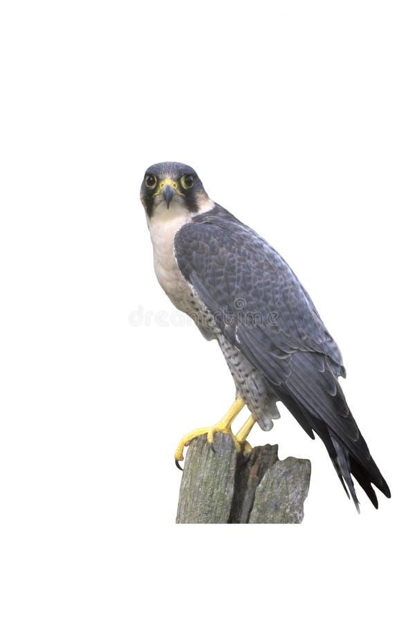 Peregrine, Falco peregrinus. Single bird on post, UK stock photography