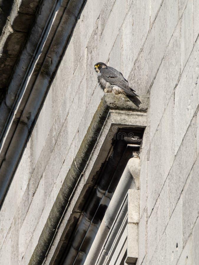 Peregrine & x28;Falco peregrinus& x29; in the UK. Bird, prey, birds, falcons, caracaras, falconidae, nature, raptor, united, kingdom, animal, animals, avian stock photos