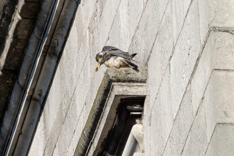 Peregrine & x28;Falco peregrinus& x29; in the UK. Bird, prey, birds, falcons, caracaras, falconidae, nature, raptor, united, kingdom, animal, animals, avian royalty free stock image