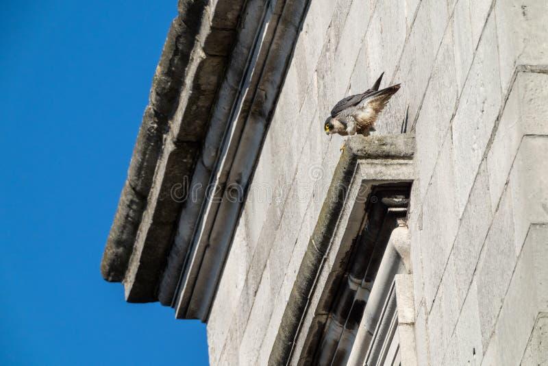 Peregrine & x28;Falco peregrinus& x29; in the UK. Bird, prey, birds, falcons, caracaras, falconidae, nature, raptor, united, kingdom, animal, animals, avian royalty free stock images