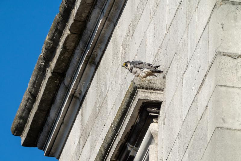 Peregrine & x28;Falco peregrinus& x29; in the UK. Bird, prey, birds, falcons, caracaras, falconidae, nature, raptor, united, kingdom, animal, animals, avian stock images