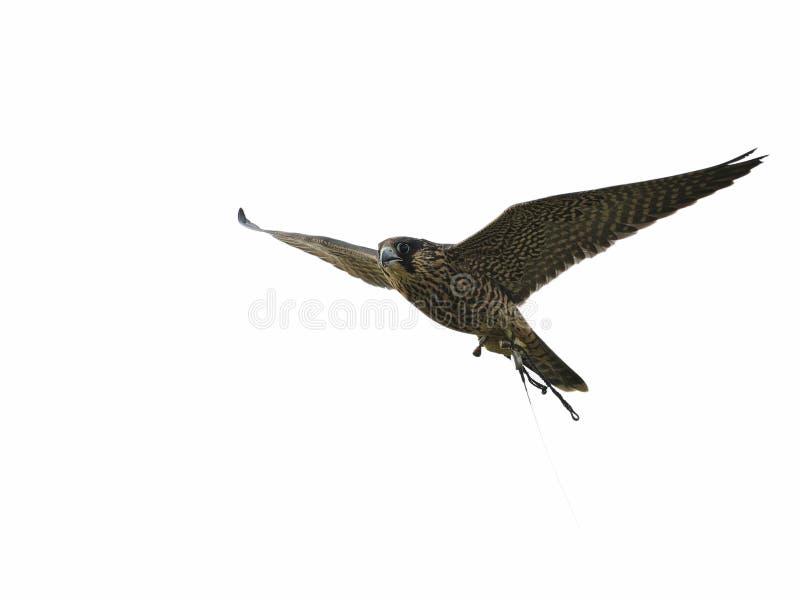 Peregrine Falcon è in ascesa nell'aria, isolata immagini stock libere da diritti