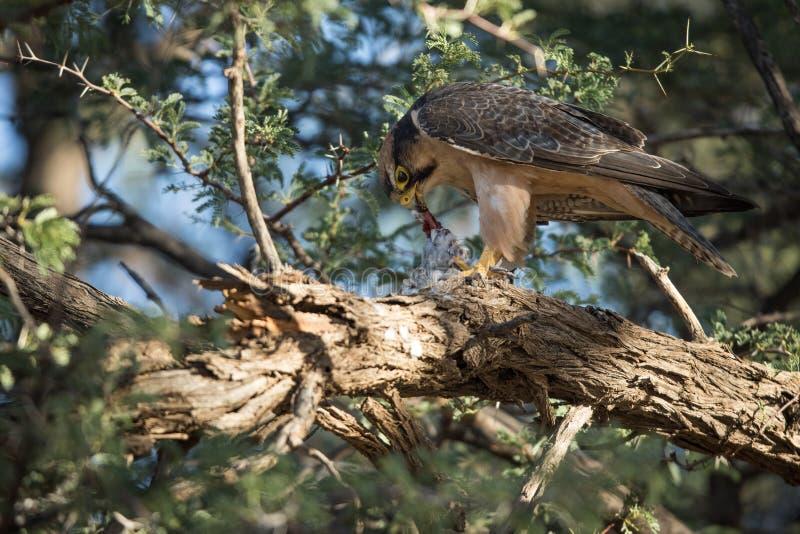 Peregrine_falcon stock foto's
