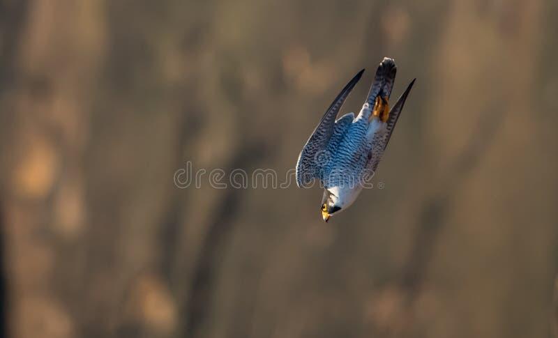 Peregrine Falcon image libre de droits
