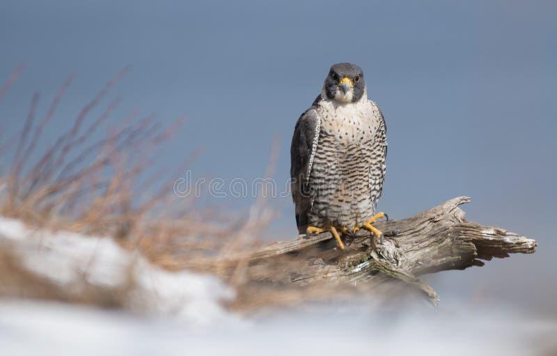 Peregrine Falcon imagem de stock royalty free