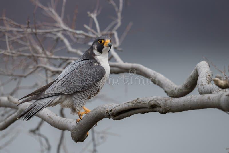 Peregrine Falcon lizenzfreie stockfotos