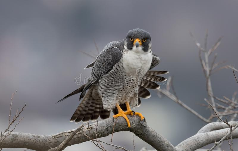 Peregrine Falcon stockbild