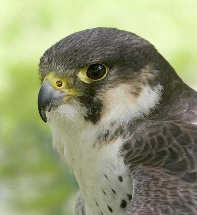 Download Peregrine Falcon Royalty Free Stock Images - Image: 18498899