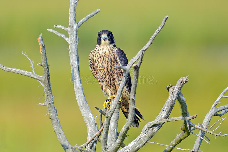 Download Peregrine Falcon stock image. Image of peregrine, wildlife - 21279855