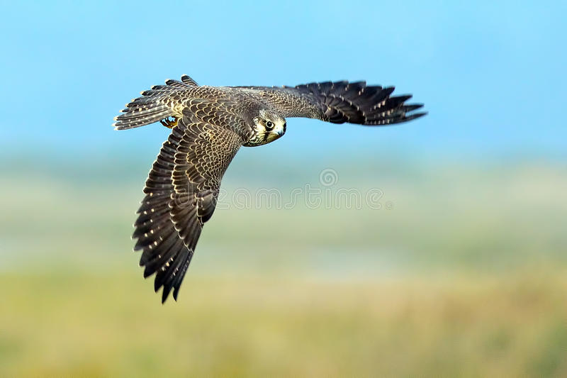 Download Peregrine Falcon Royalty Free Stock Images - Image: 21358299