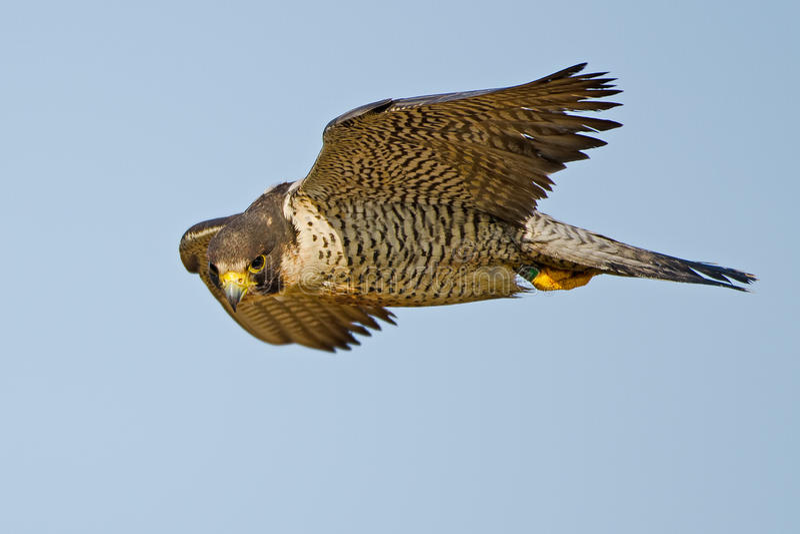 Peregrine Falcon. In flight against blue sky