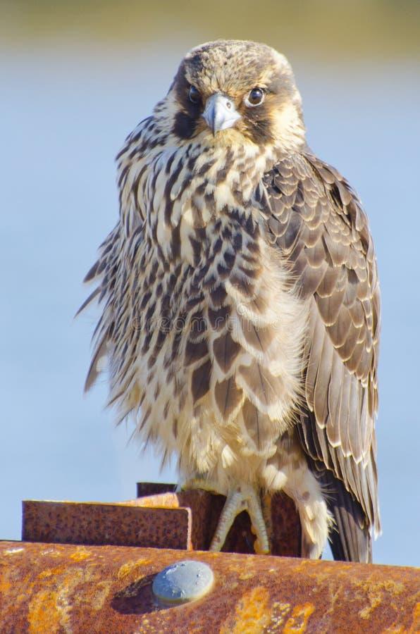 Peregrine Falcon photographie stock libre de droits