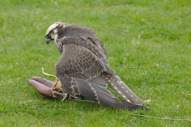 Peregrine Falcon stockfotos