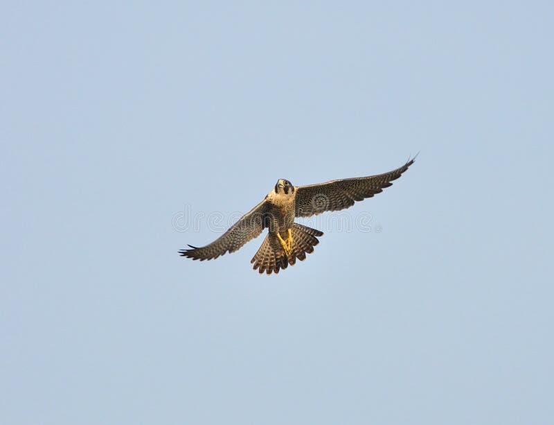 Peregrine Falcon lizenzfreies stockbild