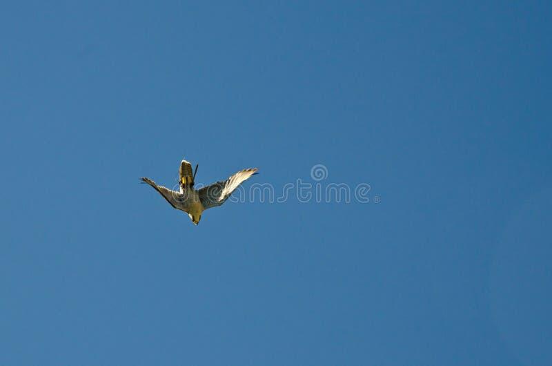 Peregrine Falcon photo libre de droits