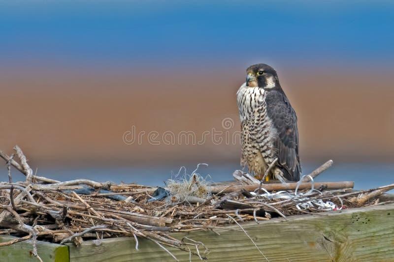 Peregrine Falcon fotografia stock libera da diritti