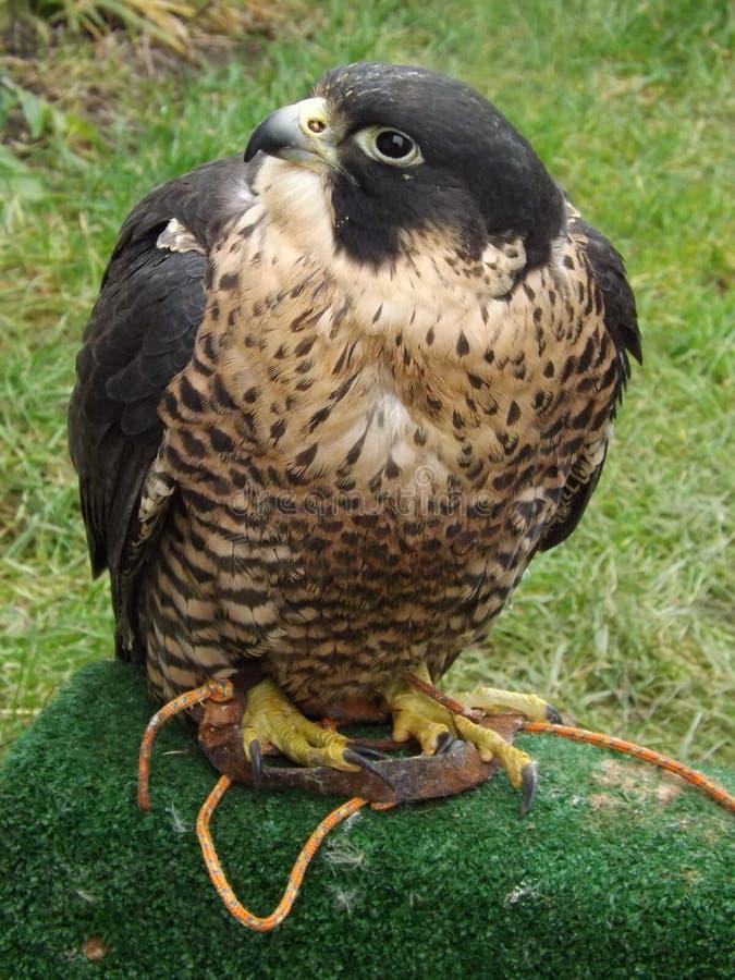 Peregrine Falcon fotografía de archivo libre de regalías