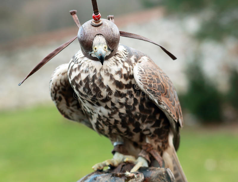 Peregrine Falcon imágenes de archivo libres de regalías