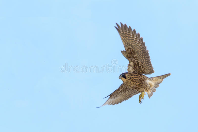 Peregrine Falcon royalty-vrije stock fotografie