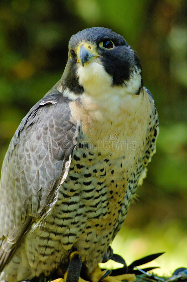 Download Peregrine Falcon stock photo. Image of portrait, play - 8192780