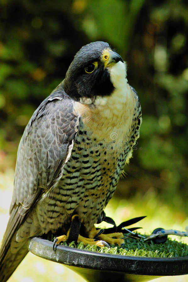 Download Peregrine Falcon stock image. Image of hawk, play, look - 8364587