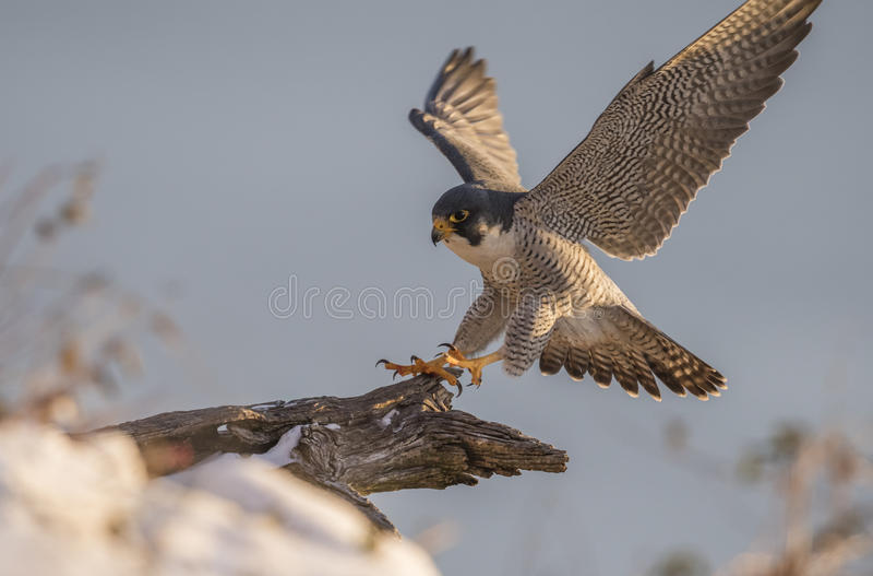 Peregrine Falcon stockfoto