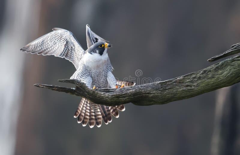 Peregrine Falcon fotos de stock royalty free
