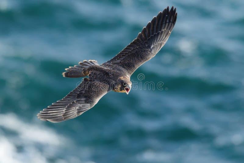 Peregrine Falcon lizenzfreies stockfoto