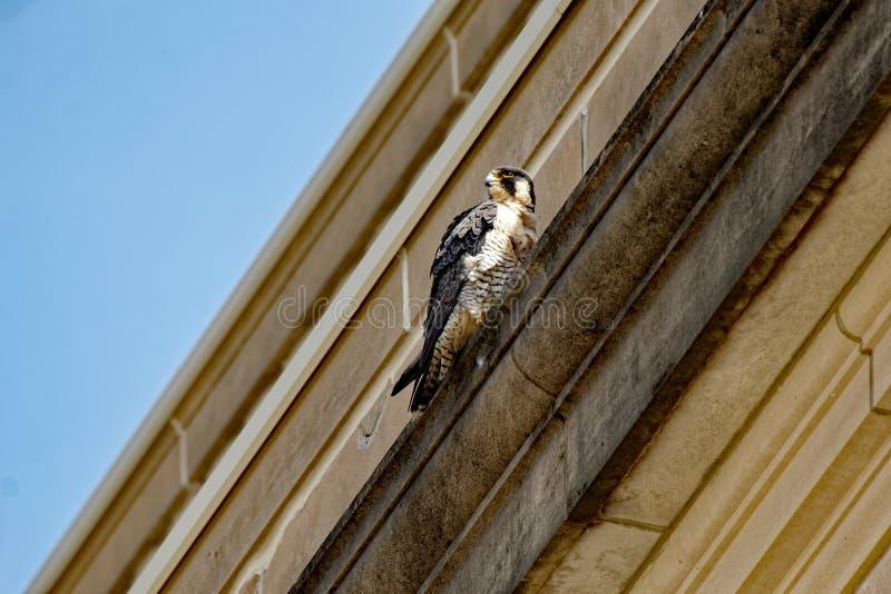 Peregrine Falcon auf einer Leiste stockbild