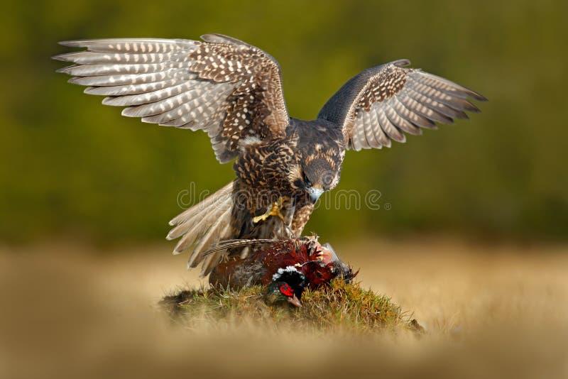 Peregrine falcon with catch Pheasant. Beautiful bird of prey Peregrine Falcon feeding kill big bird on the green moss rock. stock photography