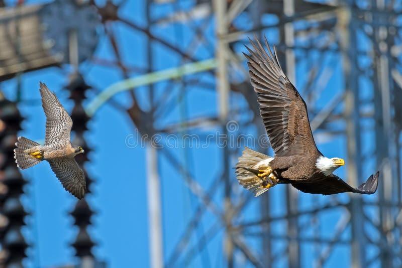 Peregrine Falcon Chasing American Bald Eagle stock afbeelding