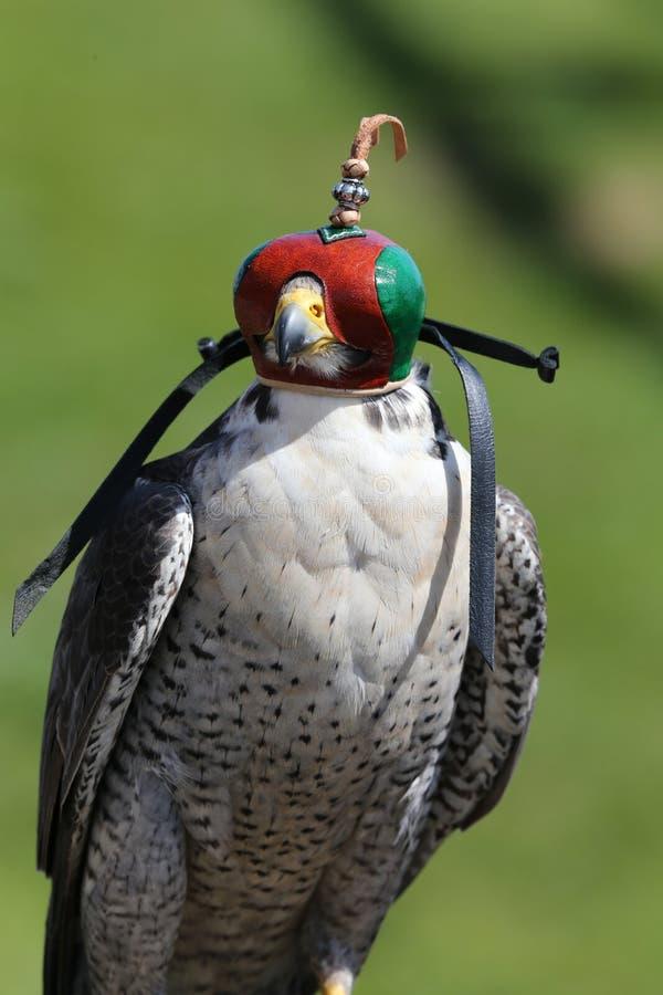 Peregrine Falcon. Close up of a falconer`s Peregrine Falcon stock images