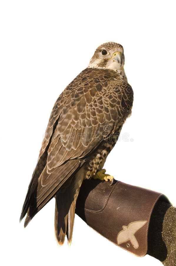 Peregrine falcon crossbred Merlin over white. Peregrine Falcon crossbred Merlin sitting on gloved hand of handler isolated on white royalty free stock photos
