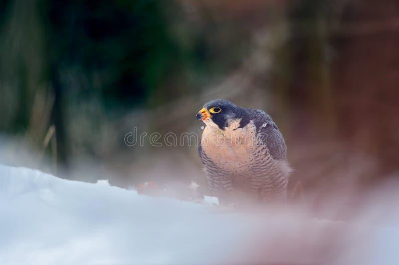 Peregrine Falcon dans la forêt colorée magique d'hiver photos stock