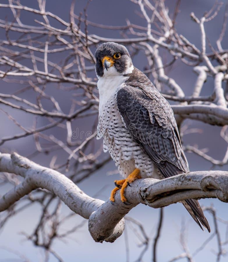 Peregrine Falcon dans le New Jersey image libre de droits