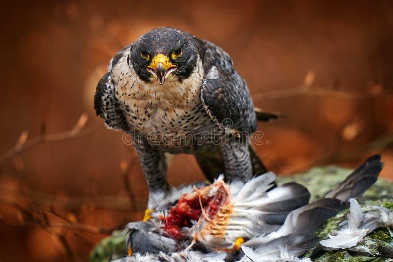 Peregrine Falcon, die in de herfst oranje bladeren zit en vogels gevangen heeft Wilde-life-scène uit de natuur Vogelgedrag in de  royalty-vrije stock afbeeldingen