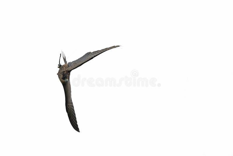 Peregrine Falcon dyker in i luften som isoleras arkivfoto
