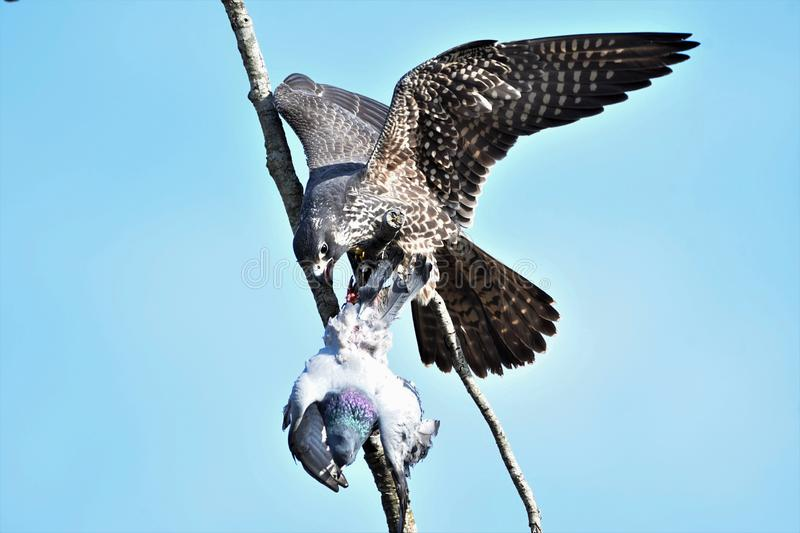 A Peregrine falcon eating a dead pigeon. stock photo